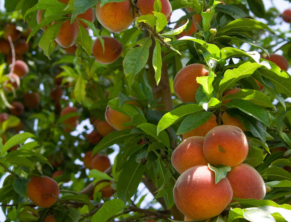 100 Nemaguard Peach Tree Seeds, Fast Growing, Free ...