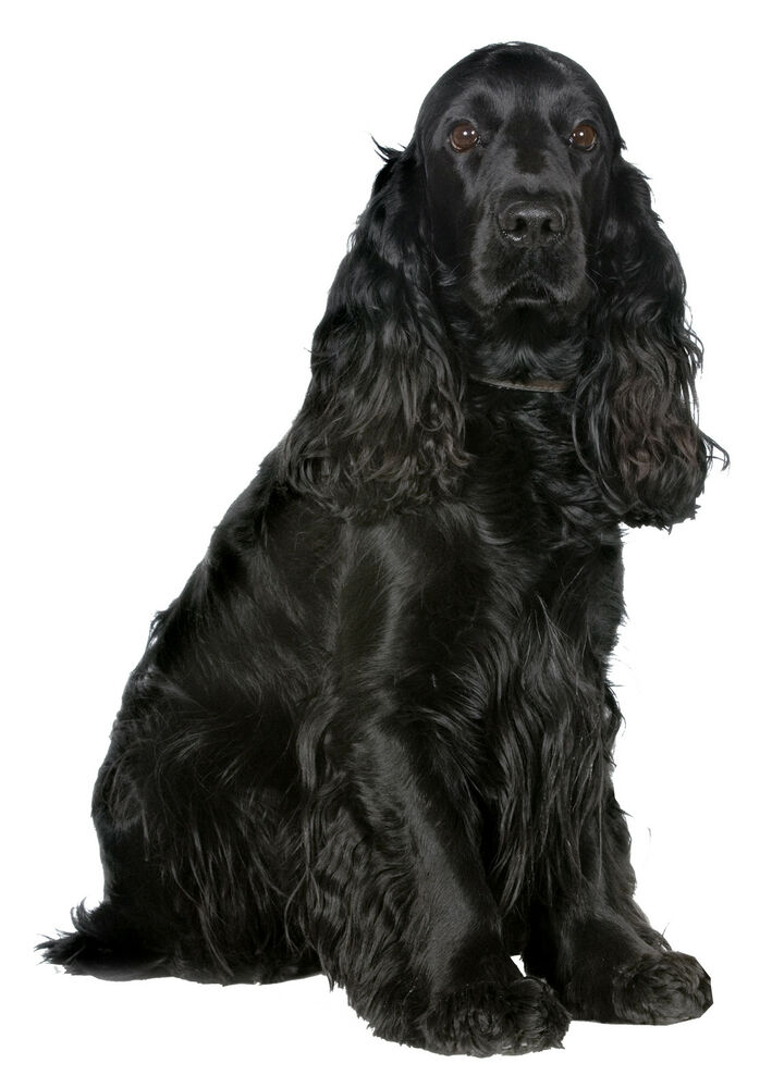 a history of the evolution of the american cocker spaniel English cocker spaniel history   continuing his evolution, the spaniel crossed itself with local dogs  like between the english cocker spaniel and american.