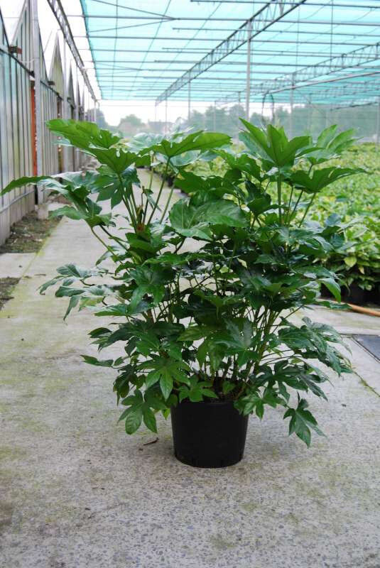 japanese fatsia seeds popular foliage indoor houseplant ebay. Black Bedroom Furniture Sets. Home Design Ideas