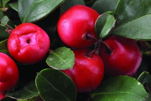 Wintergreen Gaultheria Procumbens Seeds Edible