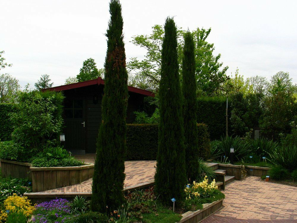 Narrow Backyard Trees :  Narrow Columnar, Cupressus sempervirens stricta, Tree Seeds  eBay