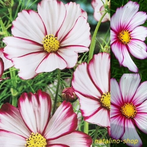 cosmea picotee 50 samen cosmos schmuckk rbchen blumensamen cosmea seeds ebay. Black Bedroom Furniture Sets. Home Design Ideas