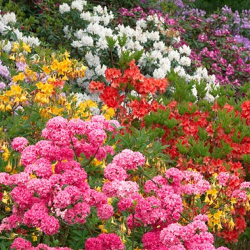 6 X Mixed Rhododendrons Bushy Shrubs Colourful Potted