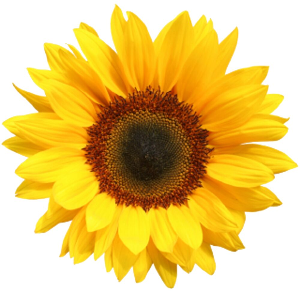 30x Sunflower Flowers Flat Edible Cup Cake Toppers Free