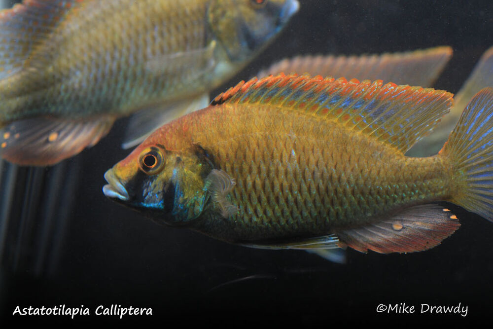 Show male african cichlid pack 3 fish malawi victoria for Show me pictures of fish