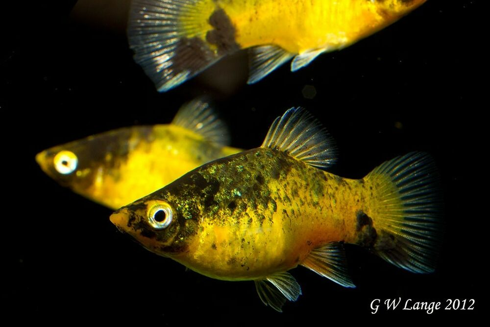 6 bumblebee platies platy livebearer swordtail guppy Livebearer aquarium fish