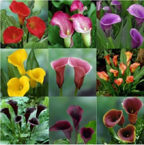 All Types Of Lilies: 100 Piece Mix Colors Calla Lily Seeds Mixing Different
