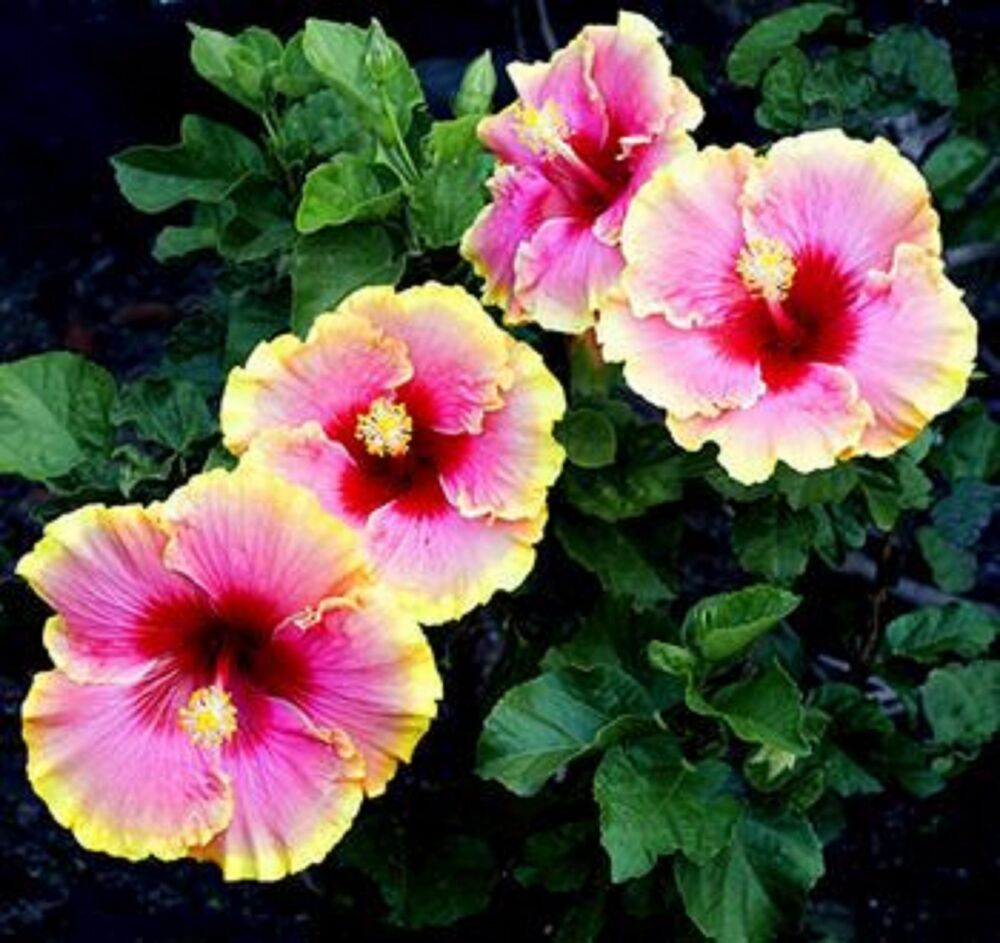 9 Mix Colors Dinnerplate Hibiscus,Easy To Grow,Huge10-12