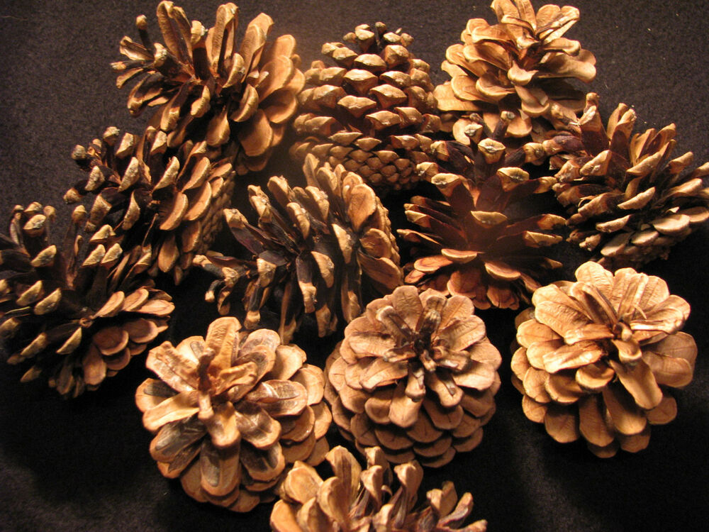 12 medium real scotch pine cones excellent for arts for Small pine cone crafts