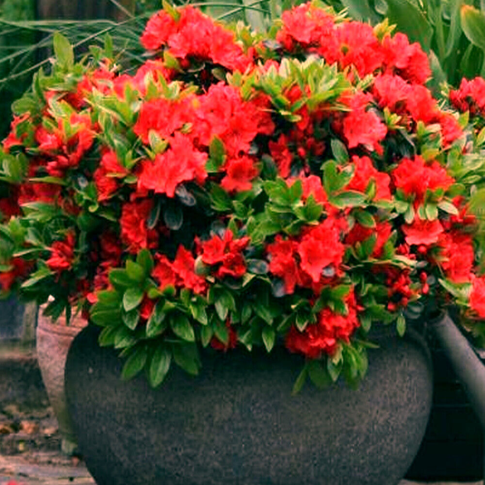 1 x red azalea japanese evergreen shrub hardy garden plant for Best plants for japanese garden