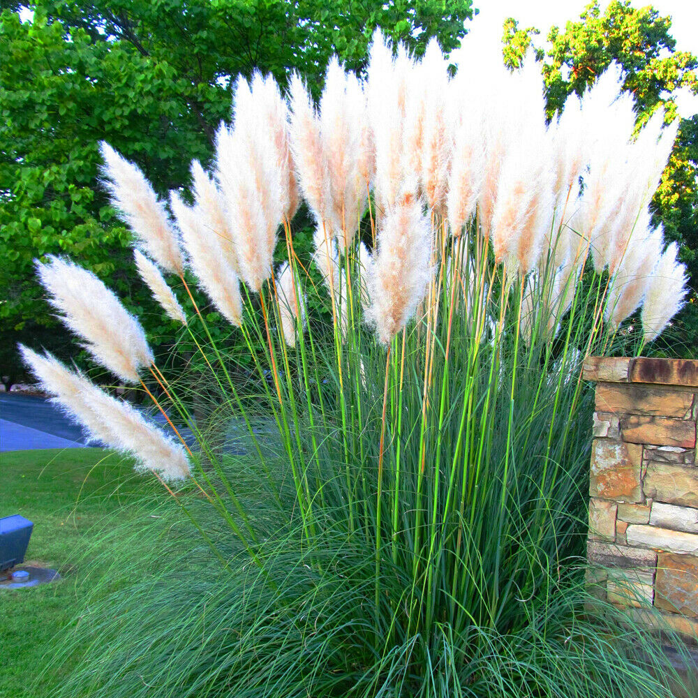 3 x white alba cortaderia selloana pampas grass pumila. Black Bedroom Furniture Sets. Home Design Ideas