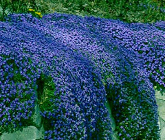 Aubretia blue shades seeds perennial shrub frost hardy low for Best low growing groundcover for full sun
