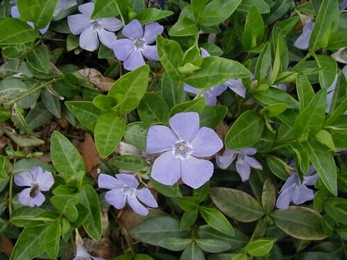 1 potted vinca minor periwinkle graveyard vine ground. Black Bedroom Furniture Sets. Home Design Ideas
