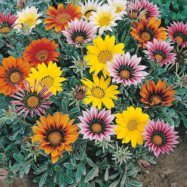 Gazania Talent Mix Seed Low Growing Groundcover Bright