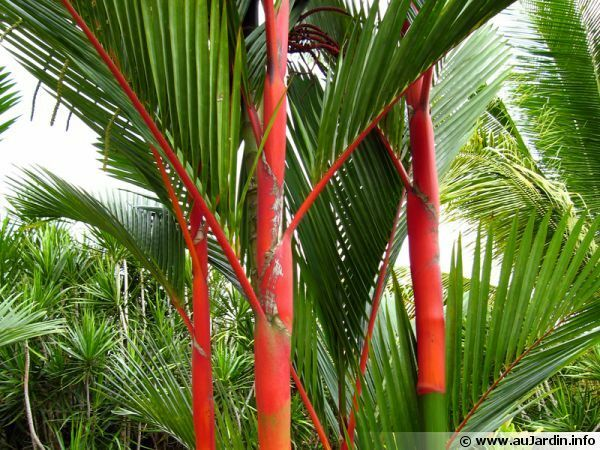 10 red sealing wax palm lipstick palm cyrtostachys renda fresh tree seeds ebay. Black Bedroom Furniture Sets. Home Design Ideas