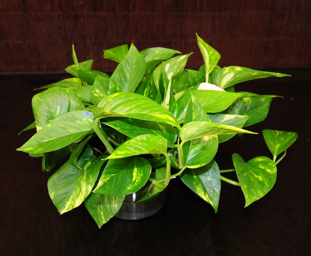 Golden Pothos 6 Pots Easy Tropical Vining House Plant