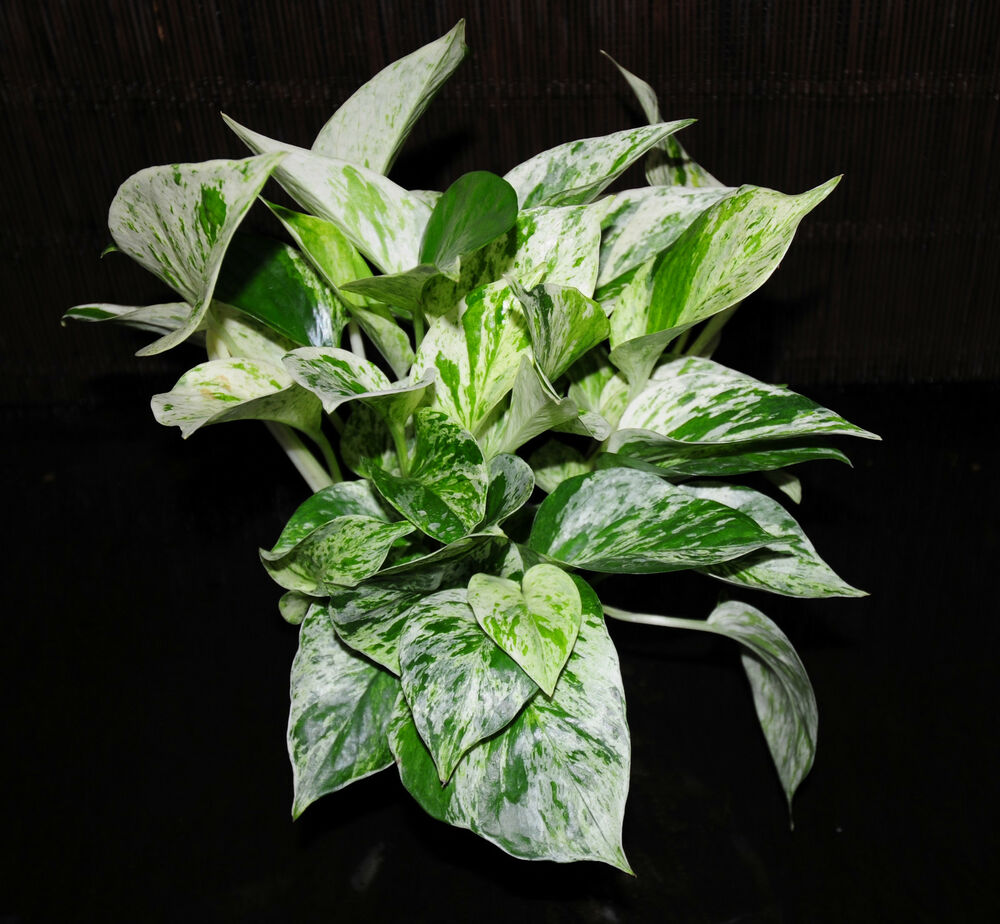 2 marble queen pothos 4 pots easy tropical vining house plant super large full ebay - House plants vines ...
