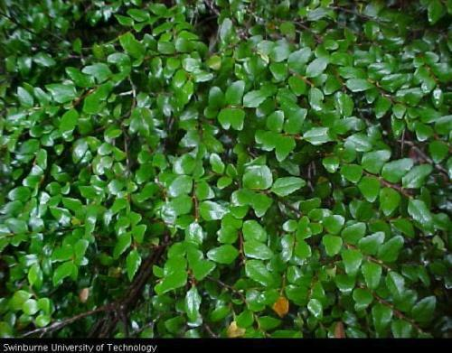 myrtle beech seed cool rainforest tree lacy evergreen foliage frost tolerant