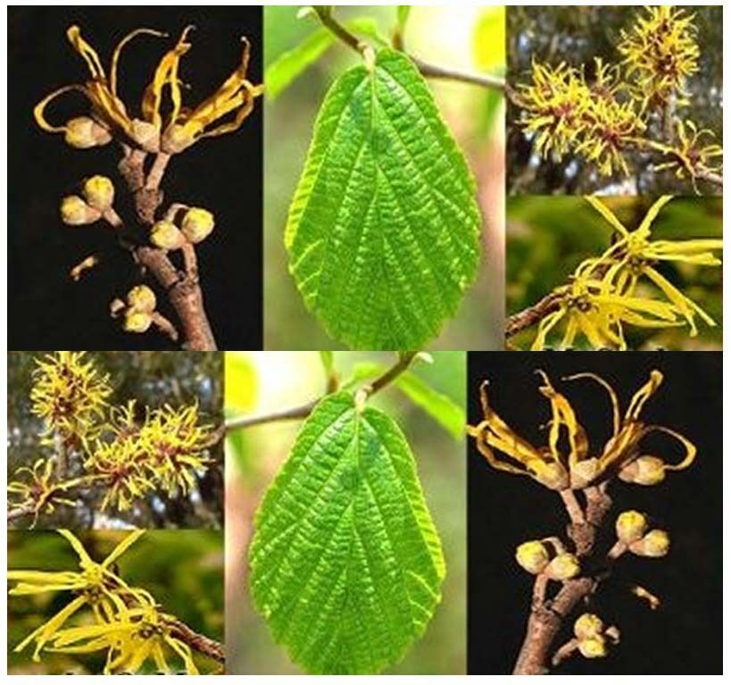 witch hazel seed hamamelis virginiana seeds witchhazel ebay. Black Bedroom Furniture Sets. Home Design Ideas
