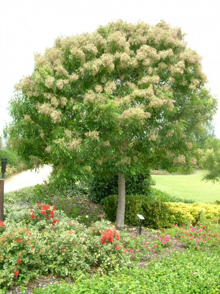 Himalayan evergreen flowering ash 100 seeds small tree ebay for Short evergreen trees