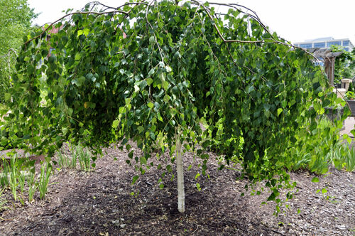 betula pendula youngii youngs weeping silver birch tree grown peat free 7ft ebay. Black Bedroom Furniture Sets. Home Design Ideas