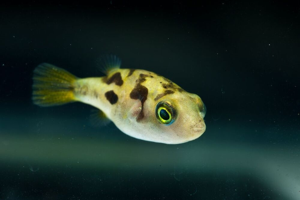 Dwarf puffer pea dwarf puffer fish freshwater aquarium for Puffer fish aquarium