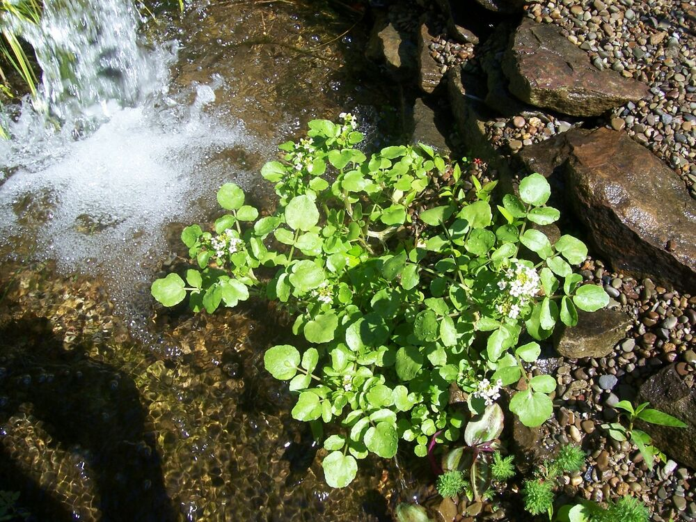 Watercress edible koi pond plant biofilters 100 organic for Koi pond plants