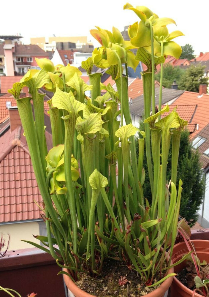 25 samen sarracenia flava winterharte gelbe schlauchpflanze moorbeet seeds ebay. Black Bedroom Furniture Sets. Home Design Ideas