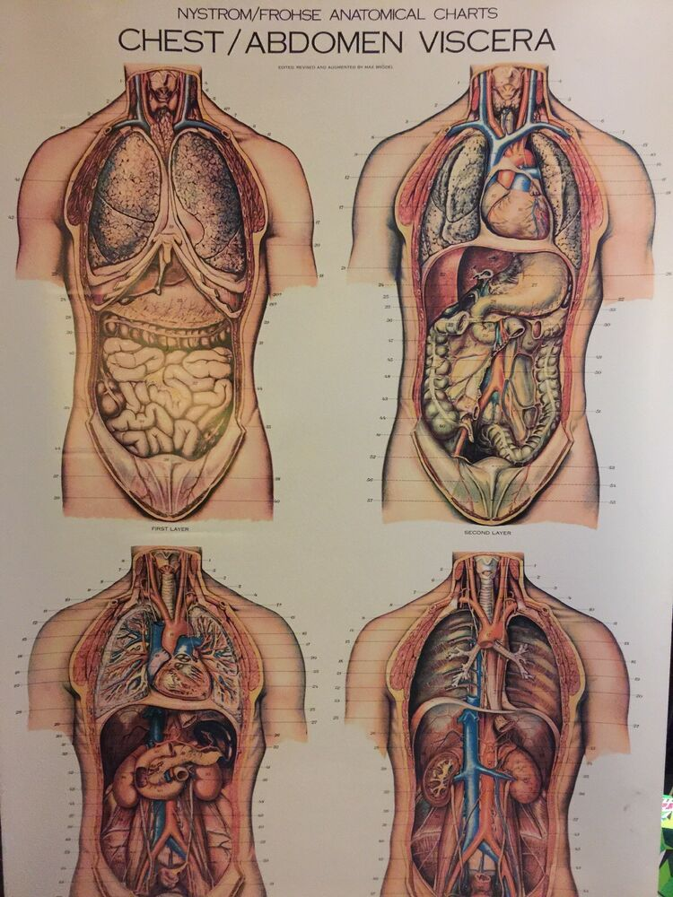 Nystrom Froshe Human Chest & Abdomen Anatomical Wall Chart Anatomy ...