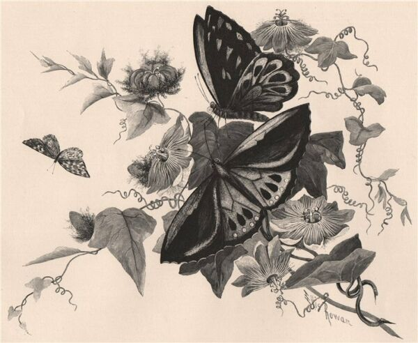 Passion flower and butterflies. Australasia 1888 old antique print picture