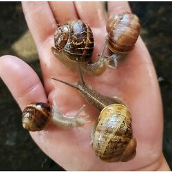 Kyпить LIVE LAND OR GARDEN SNAILS - Medium, Large, Extra Large, or Jumbo на еВаy.соm
