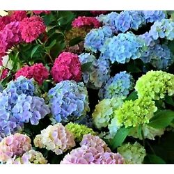 Beautiful Multi Color Hydrangea Seeds 50 Seeds Buy 4 Items Receive Free Shipping