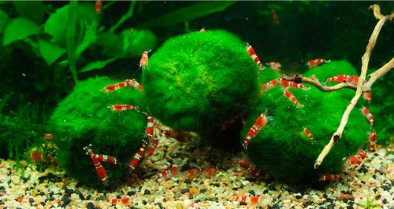 Giant marimo natural algae shrimp fish aquarium food ebay for What causes algae in fish tanks