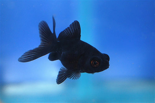 Black moor goldfish coldwater fish 5cm ebay for Cold freshwater fish