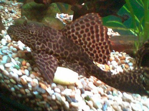 Sailfin Plecostomus 5cm Algae Eating Tropical Fish Ebay