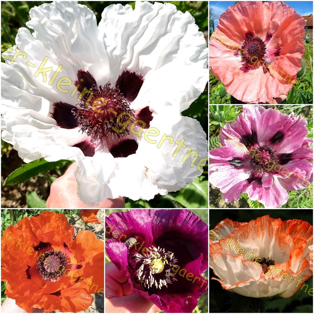 mohn papaver orientale mix t rkischer riesenmohn winterharte staude samen ebay. Black Bedroom Furniture Sets. Home Design Ideas