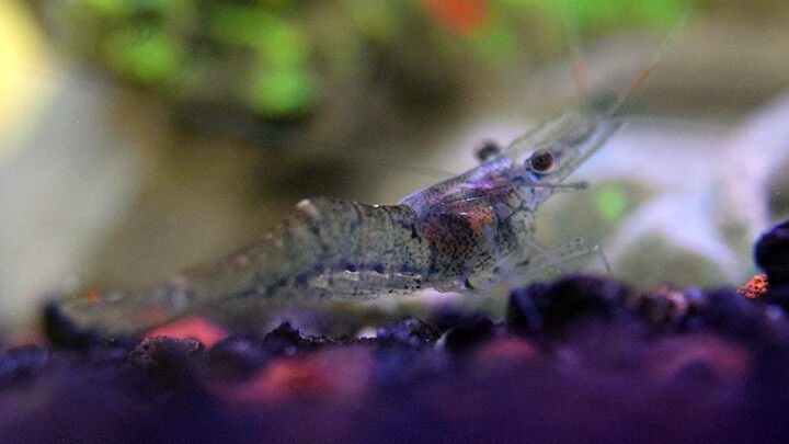 Ghost shrimp easy to keep tropical fish ebay for Easy aquarium fish