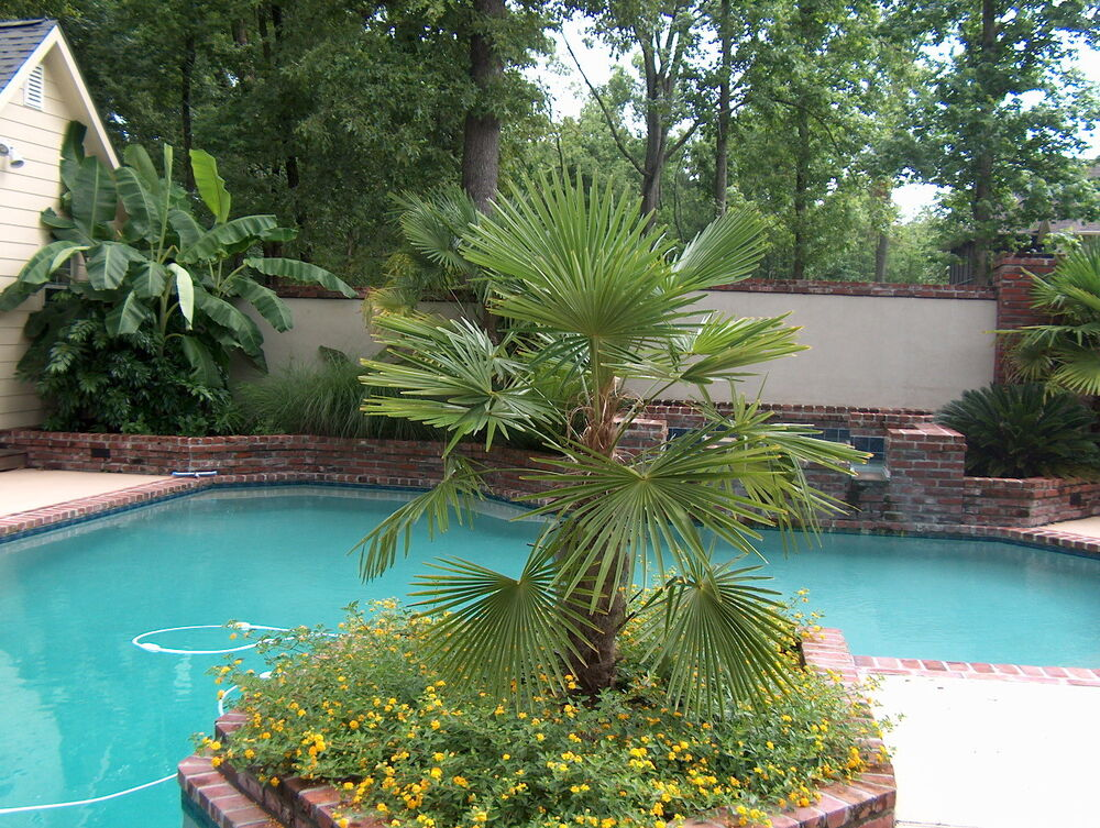 windmill palm  trachycarpus fortunei  tree seeds  hardy evergreen tropical