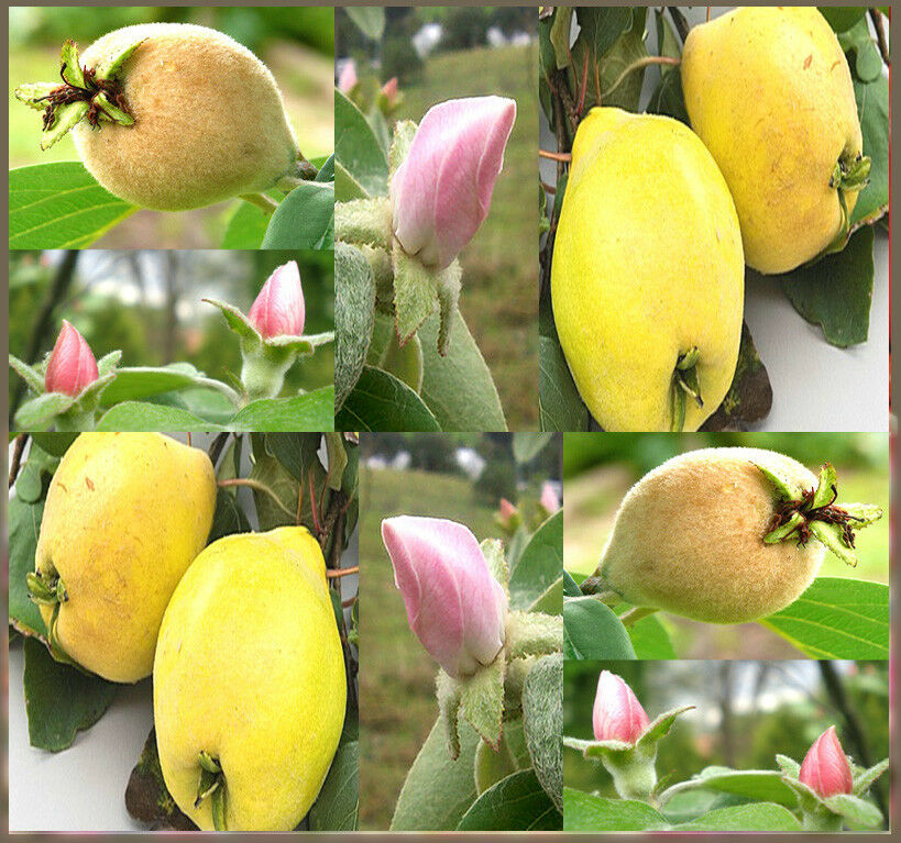 Bulk Quince Fruit Tree Seeds Hardy To Zone 4 Symbol For