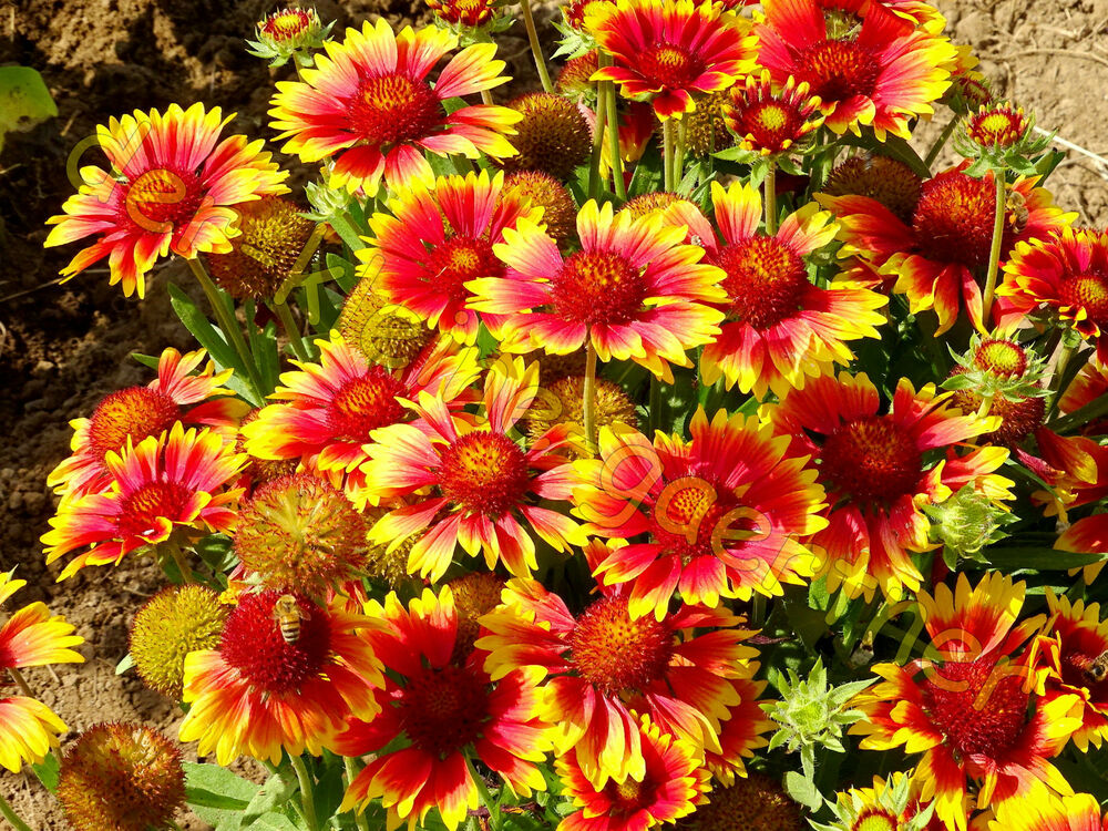 kokardenblume gaillardia aristata aster korkadenblume winterhart staude 30 samen ebay. Black Bedroom Furniture Sets. Home Design Ideas