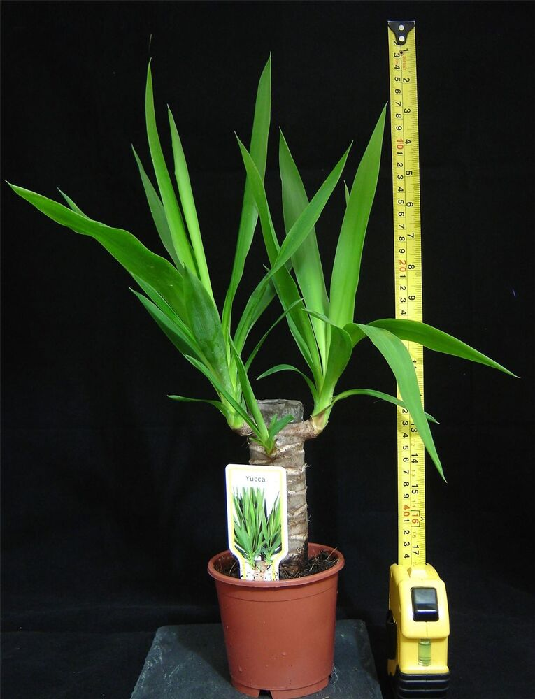 SPINELESS YUCCA ELEPHANTIPE EVERGREEN INDOOR HOUSE PLANT ...