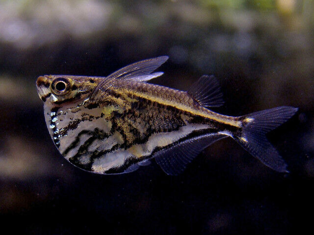 Marbled Hatchetfish 2 5cm Carnegiella Strigata Ebay
