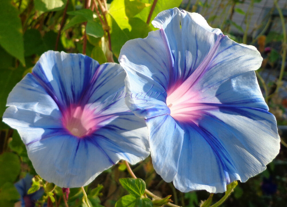 Blue Lightning ˜� Morning Glory Vine Seeds ˜� Dazzling