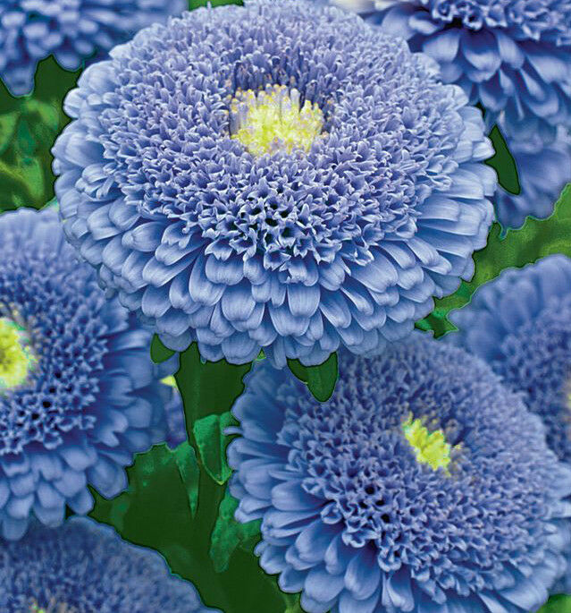 russian aster seeds  unusual pompom blue flowers  ebay, Natural flower