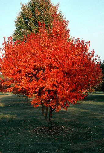 Amur maple tree seeds acer ginnala select 25 50 100 for Prettiest small trees