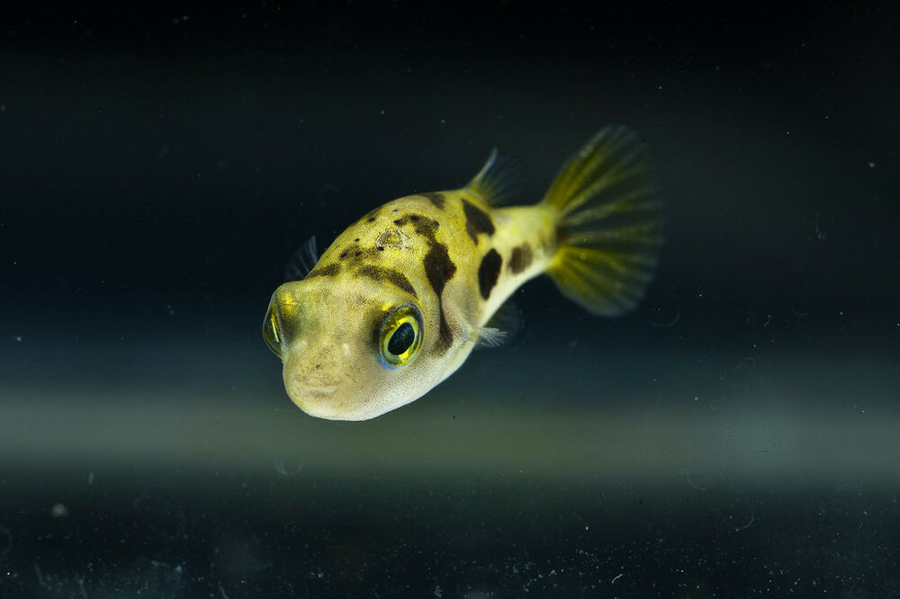 Dwarf puffer fish pygmy pufferfish freshwater ebay for Puffer fish images