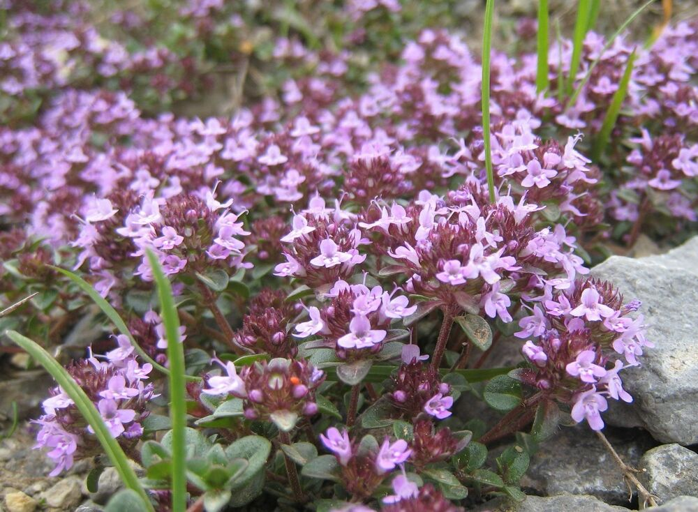 CREEPING THYME * Thymus serphyllum * GROUND COVER * TAKES ...
