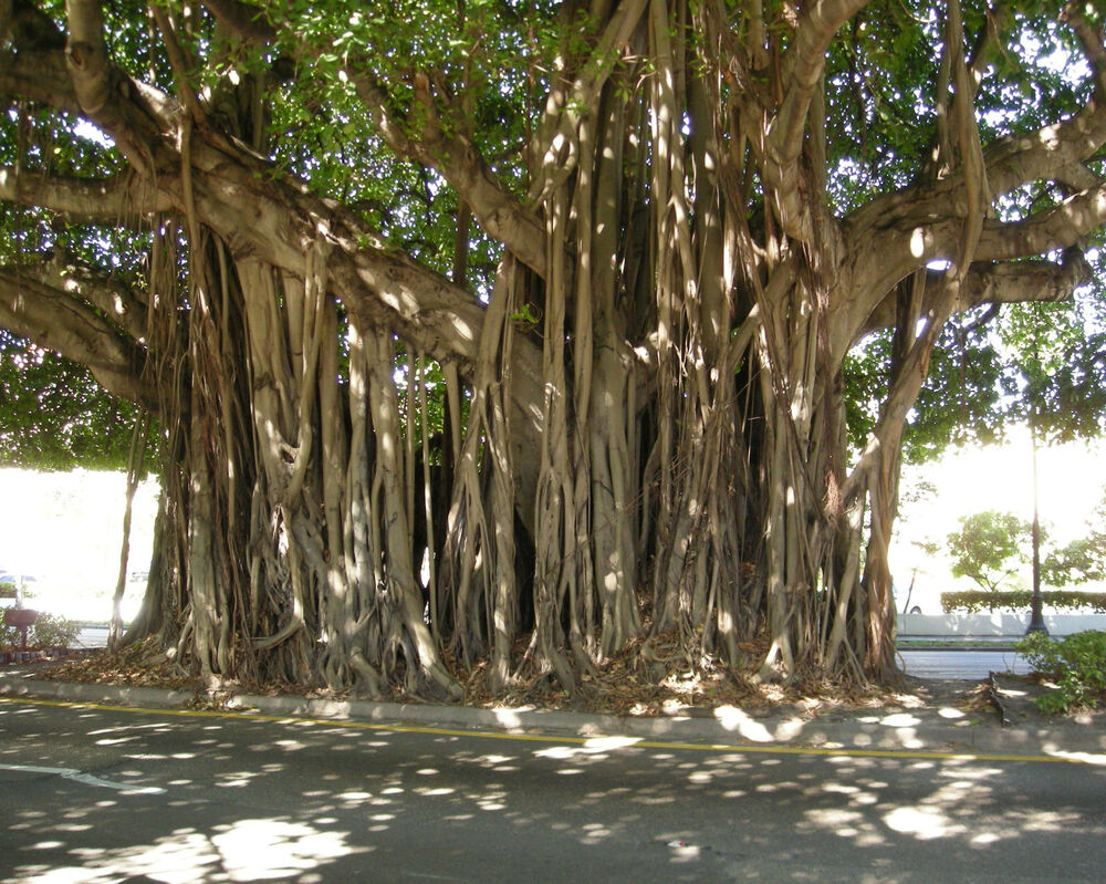 how to grow banyan tree from seeds