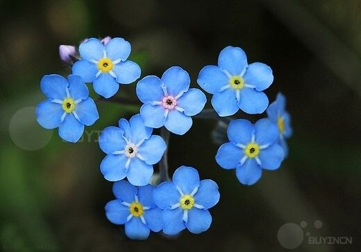 wood forget me not perennial flower seed 50 seeds myosotis. Black Bedroom Furniture Sets. Home Design Ideas