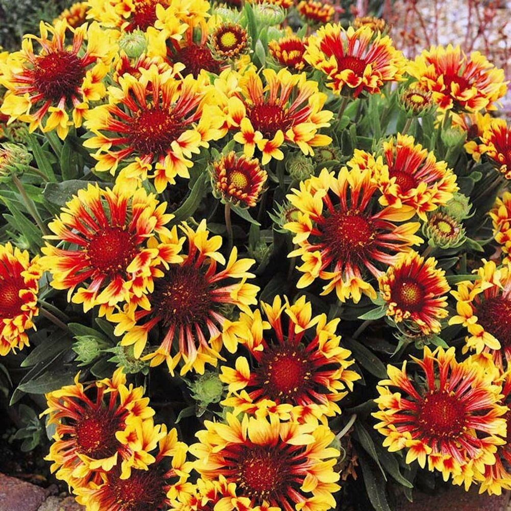 Gaillardia Aristata Bremen Indian Blanket Flower 50seeds Free